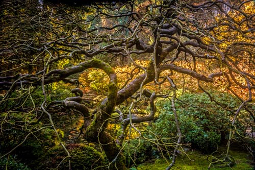 Bruce Clark, Portland Japanese Garden Tree by Bridge