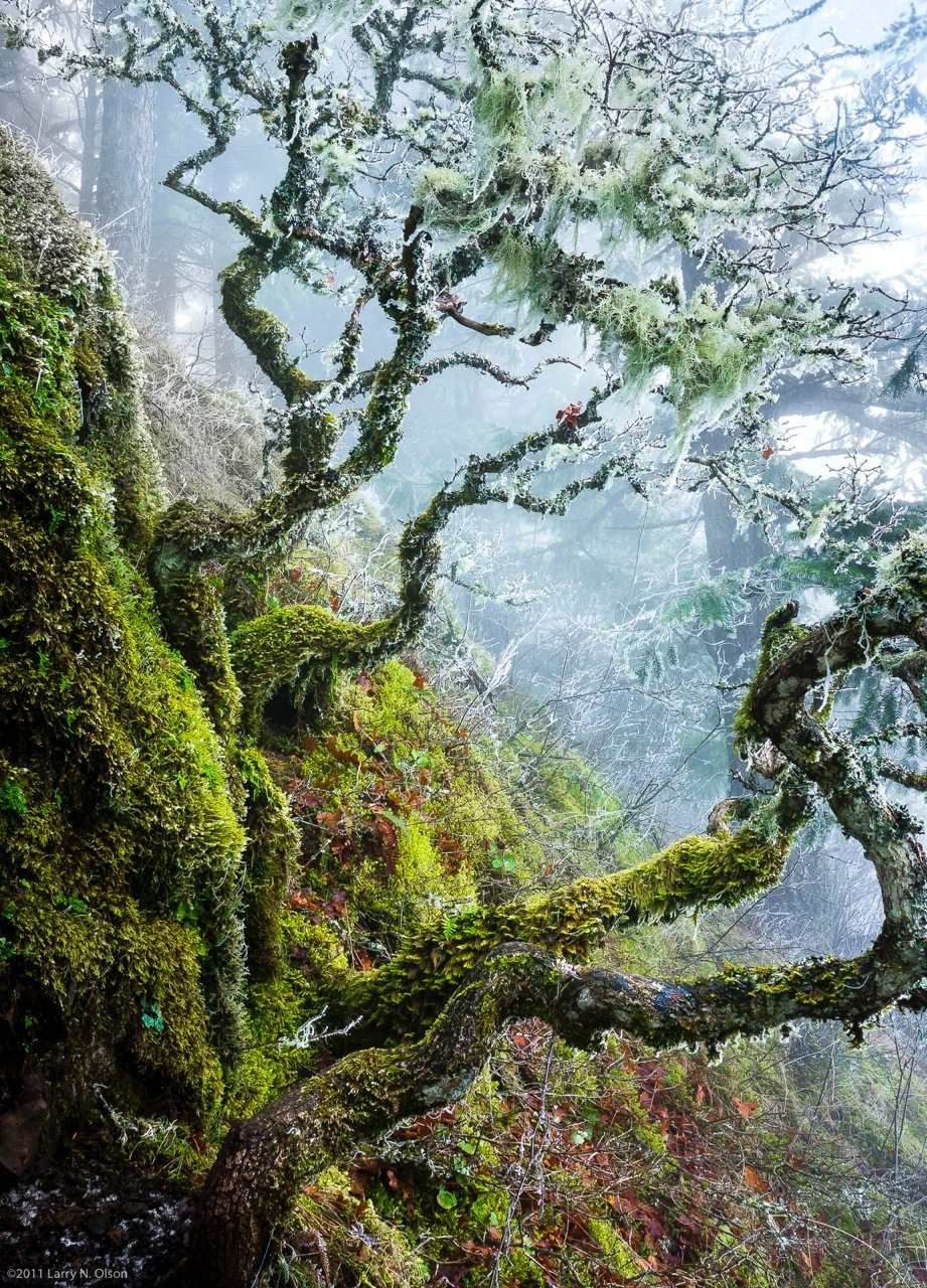 Larry Olson, Weathered Oaks, Columbia Gorge OR