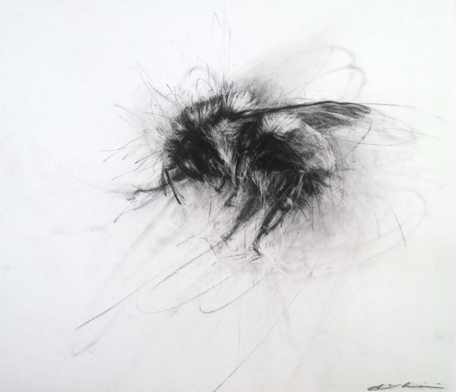 April Coppini, Black-Tailed Bumble Bee, charcoal.