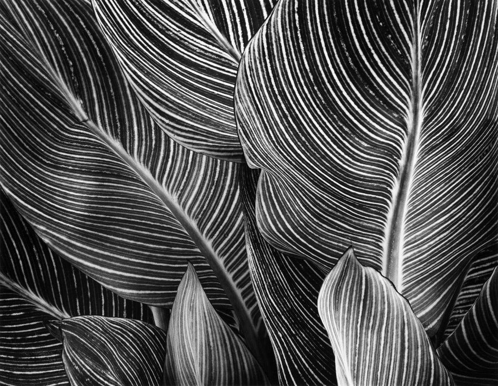 Loren Nelson, Canna Leaves, silver gelatin print
