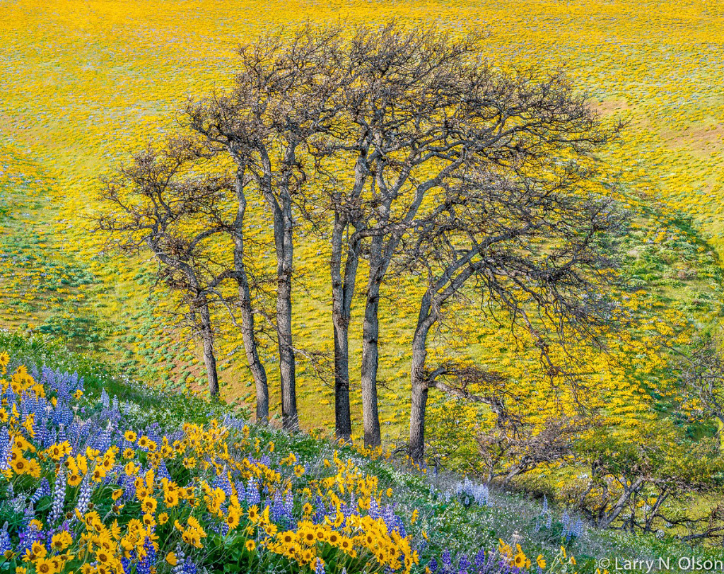 Larry Olson, Oaks, 7 Mile Hill, Columbia River Gorge, OR, archival pigment photograph