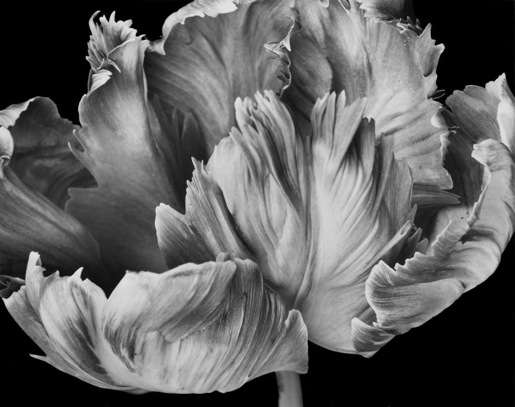Loren Nelson, Pink Parrot Tulip, silver gelatin Print