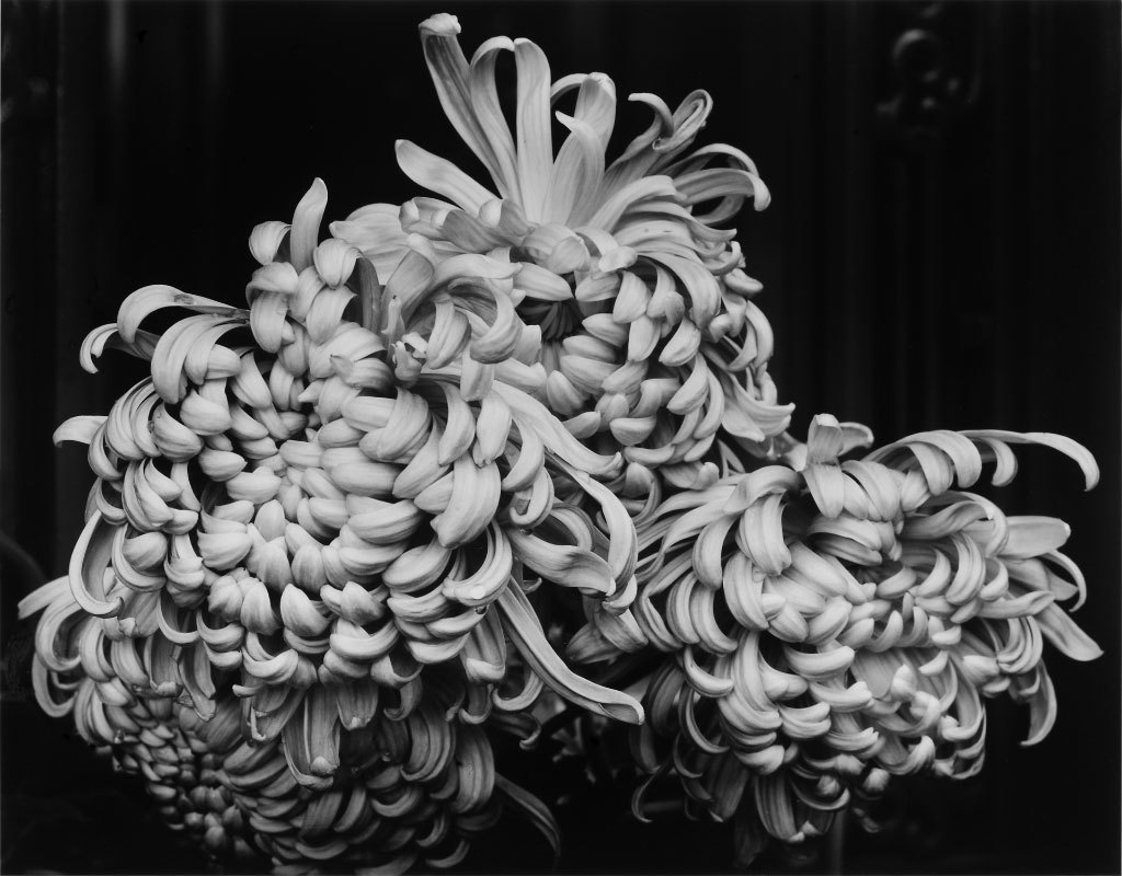 Loren Nelson, Chrysanthemums, silver gelatin print
