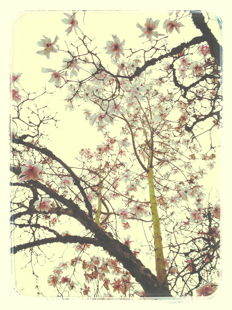 Shelley Curtis, March Magnolia, archival pigment photograph